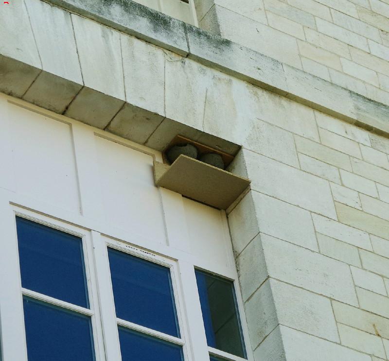 Le Service Historique de la Défense, protège ses hirondelles de fenêtre (Delichon urbicum) ! Imgp4912