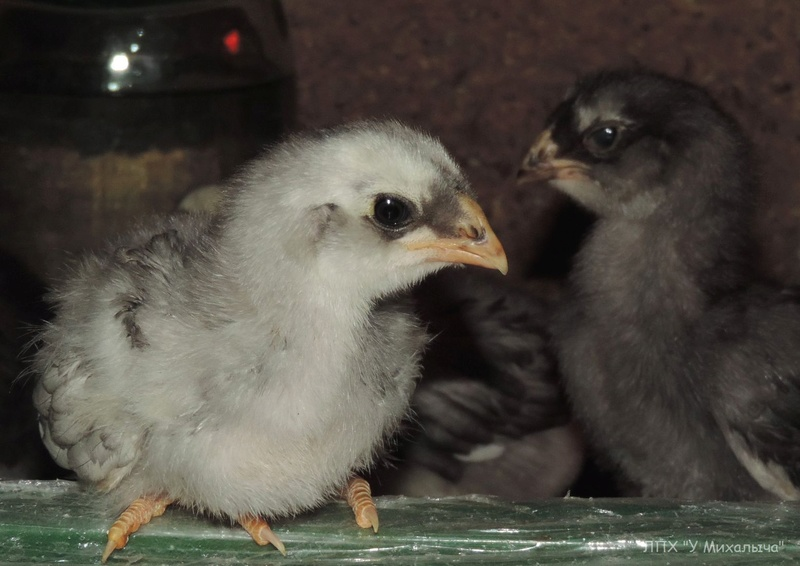 Гилянская порода кур, Gilan breed chickens - Страница 3 01310