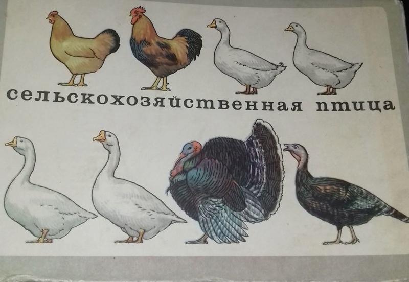 Порода кур Полтавская глинистая - Страница 10 0137