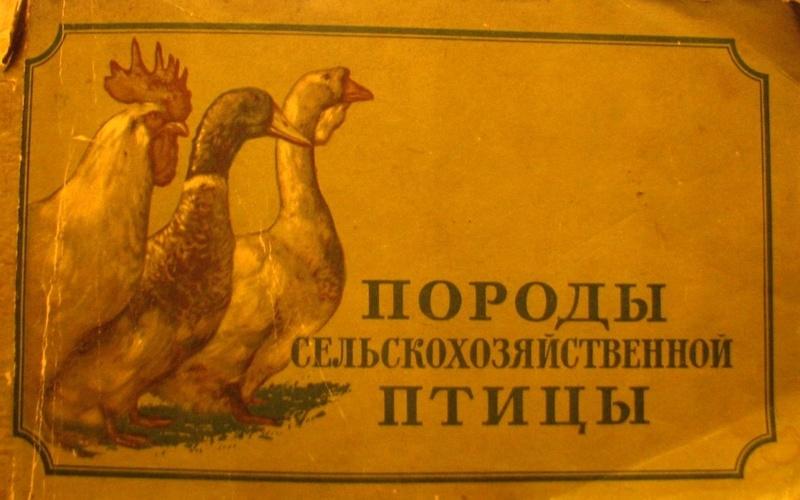 Кучинская порода кур - Страница 5 0146