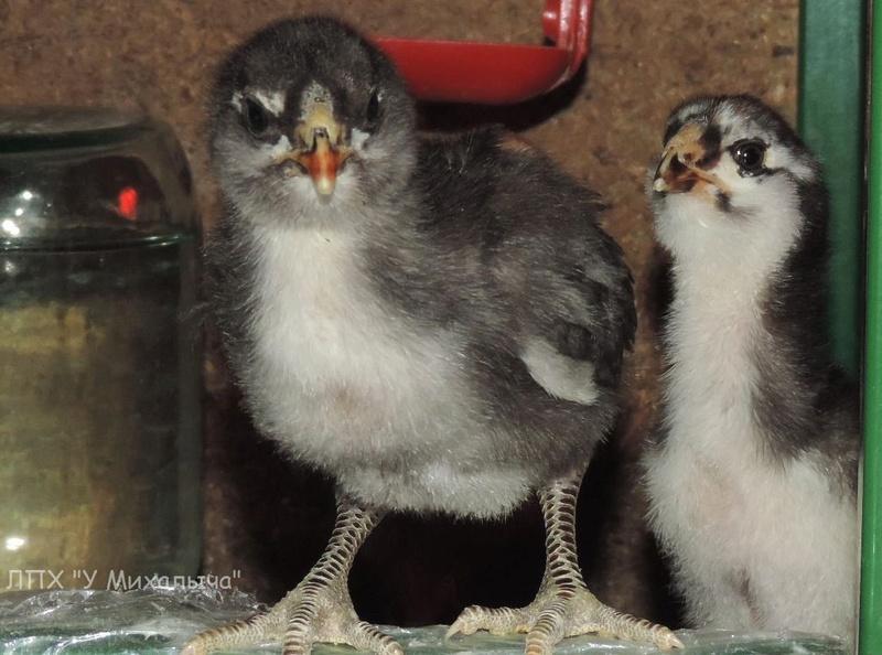 Гилянская порода кур, Gilan breed chickens - Страница 3 02610