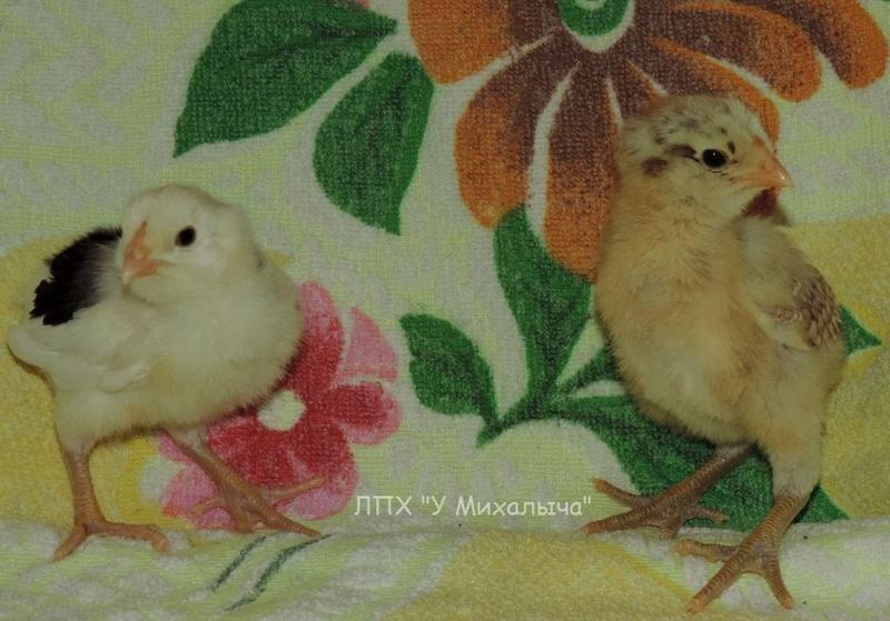 Гилянская порода кур, Gilan breed chickens - Страница 2 1117