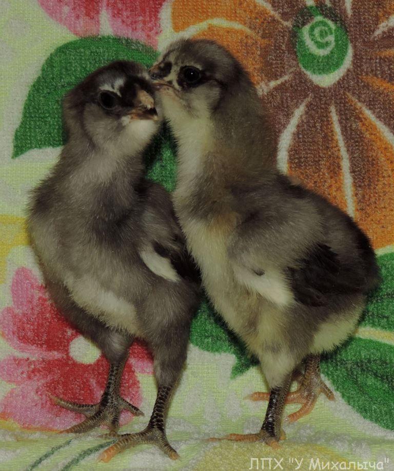 Гилянская порода кур, Gilan breed chickens - Страница 2 12-210