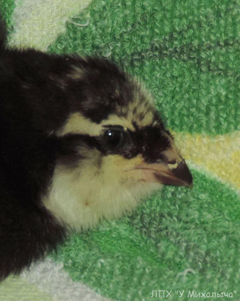 Гилянская порода кур, Gilan breed chickens - Страница 2 1615