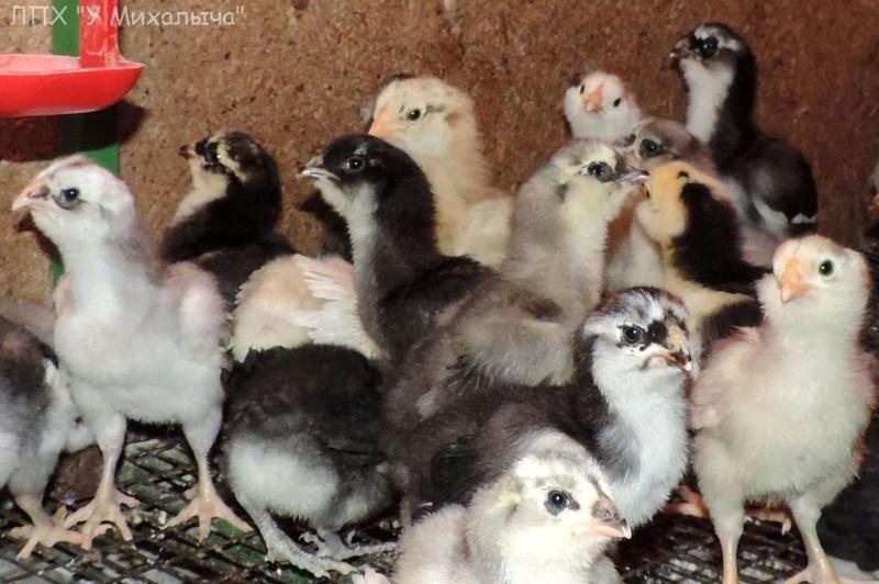 Гилянская порода кур, Gilan breed chickens - Страница 2 21-110