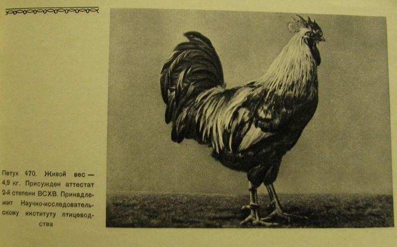 Загорская лососевая порода кур - Страница 4 2611