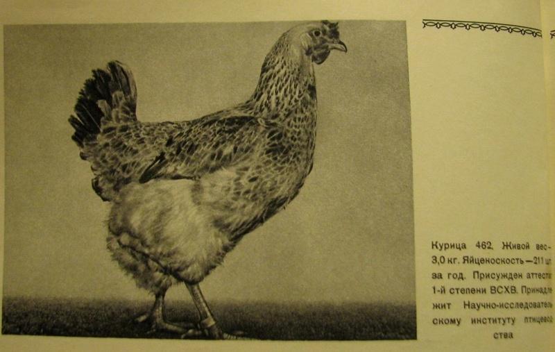 Загорская лососевая порода кур - Страница 4 2711