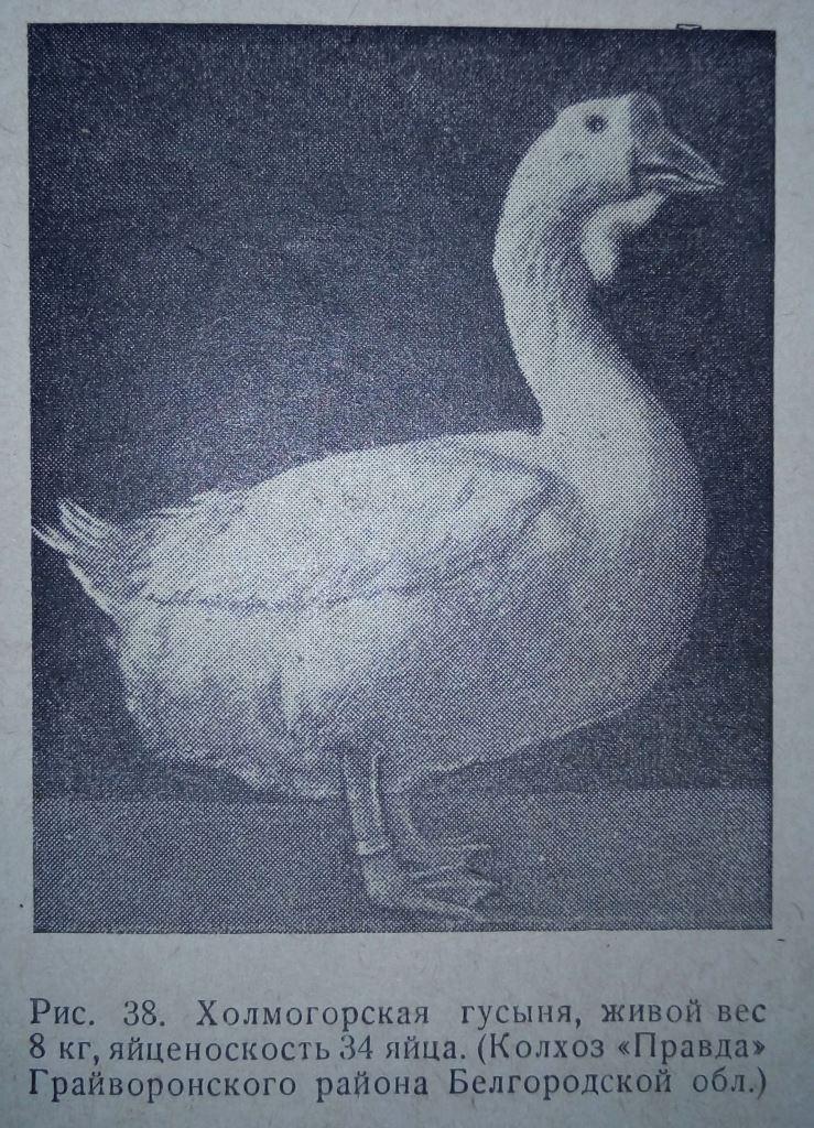 Гуси холмогорской породы - Страница 22 2712