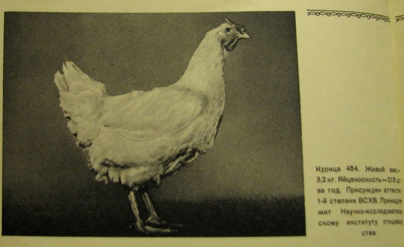 Загорская лососевая порода кур - Страница 4 2911