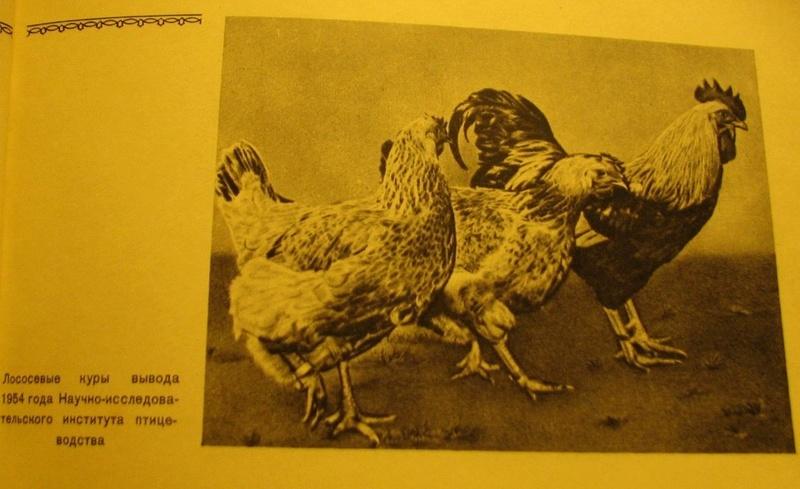 Загорская лососевая порода кур - Страница 4 3011