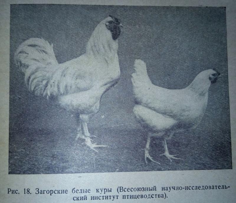 Загорская лососевая порода кур - Страница 4 311