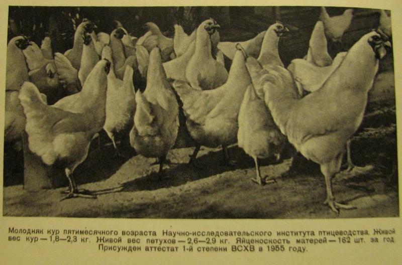 Загорская лососевая порода кур - Страница 4 3112