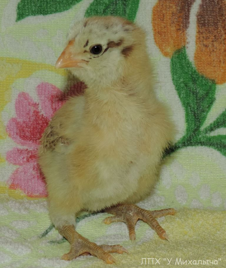 Гилянская порода кур, Gilan breed chickens - Страница 2 316