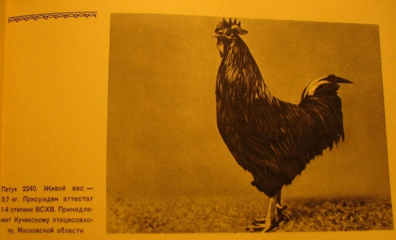 Кучинская порода кур - Страница 5 3912