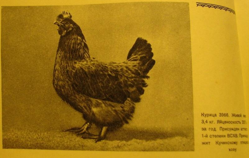 Кучинская порода кур - Страница 5 4012