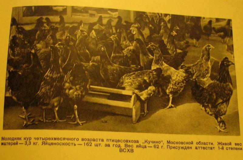 Кучинская порода кур - Страница 5 4112