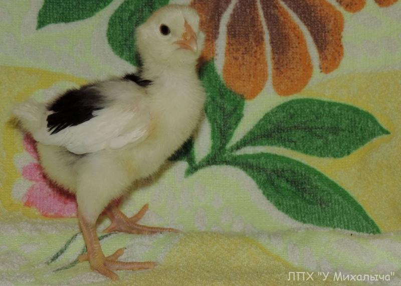 Гилянская порода кур, Gilan breed chickens - Страница 2 414