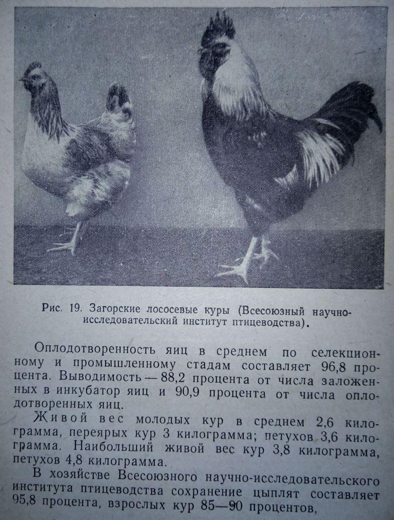 Загорская лососевая порода кур - Страница 4 511