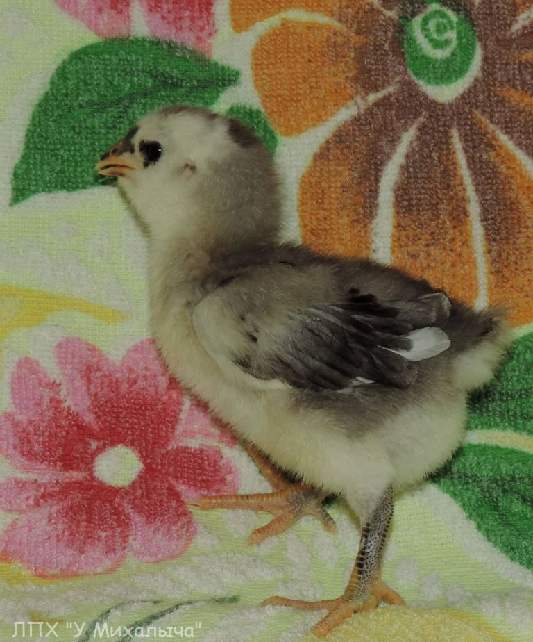 Гилянская порода кур, Gilan breed chickens - Страница 2 515