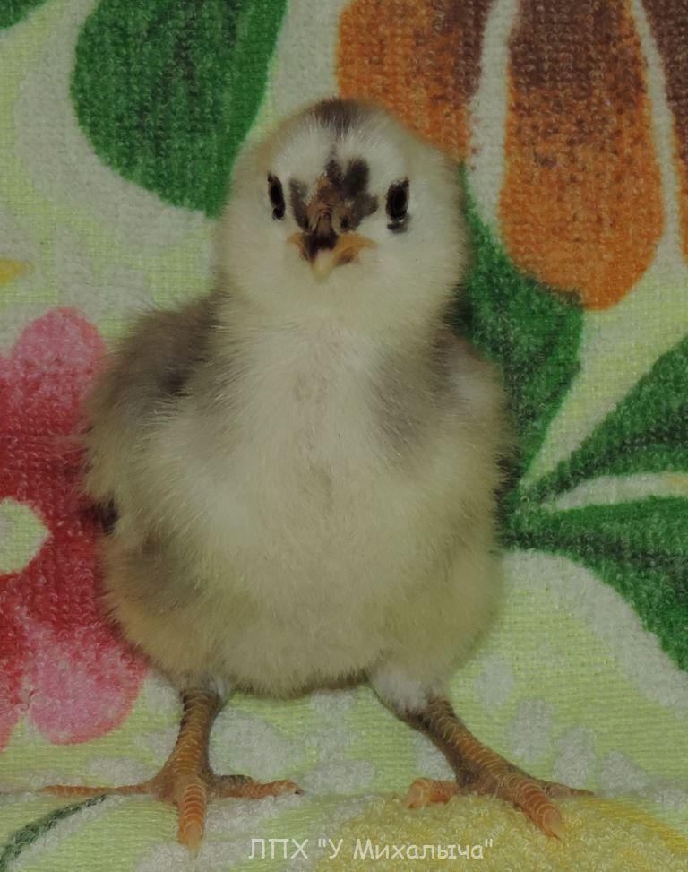 Гилянская порода кур, Gilan breed chickens - Страница 2 516