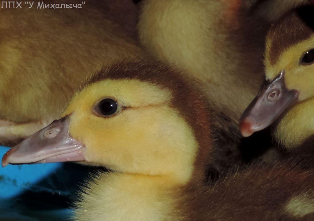 Мускусные утки (индоутки) - ч.6 - Страница 10 Didi-038