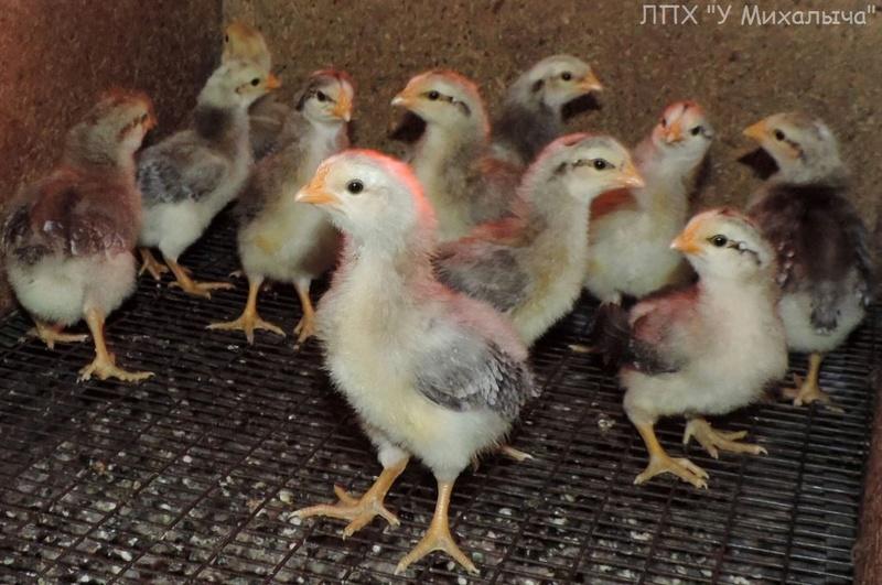 Борковская барвистая порода яичних кур - Страница 9 Ii-07011