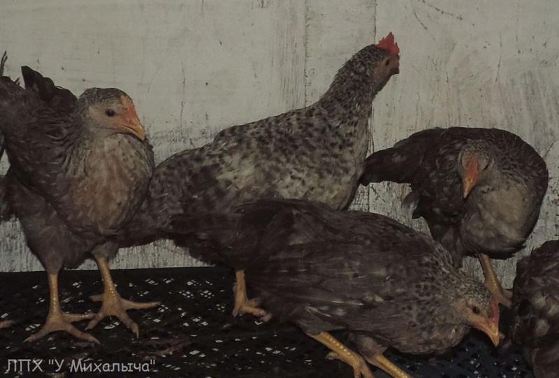 Борковская барвистая порода яичних кур - Страница 10 Ii-28020