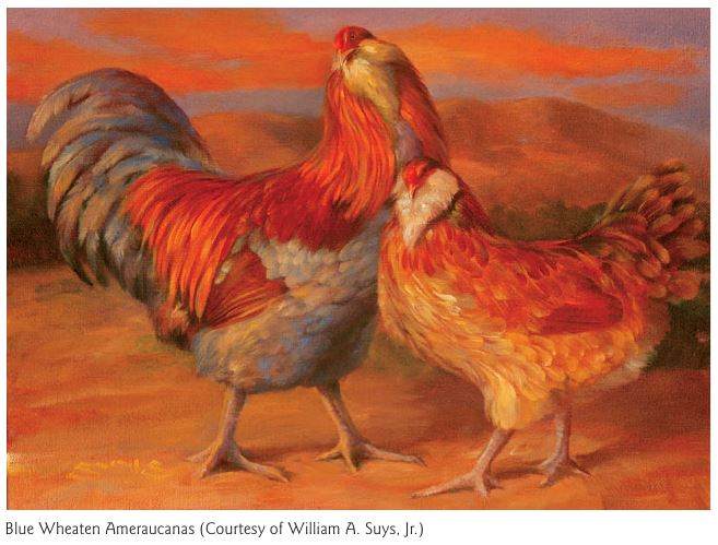 Амераукана, Ameraucana / Easter Egger Image122