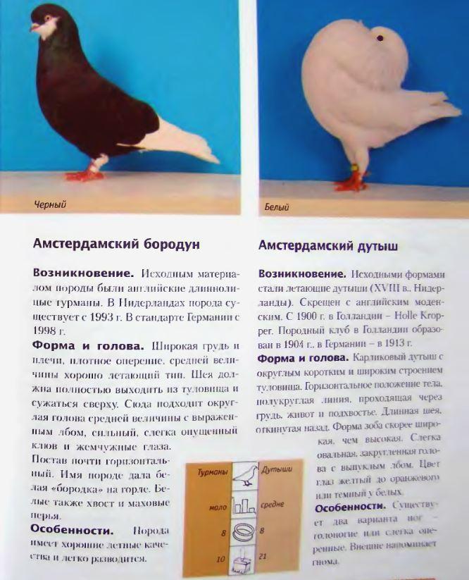 Породы голубей Image169