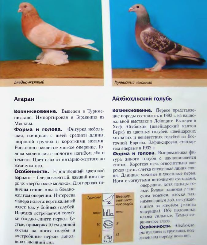 Породы голубей Image171