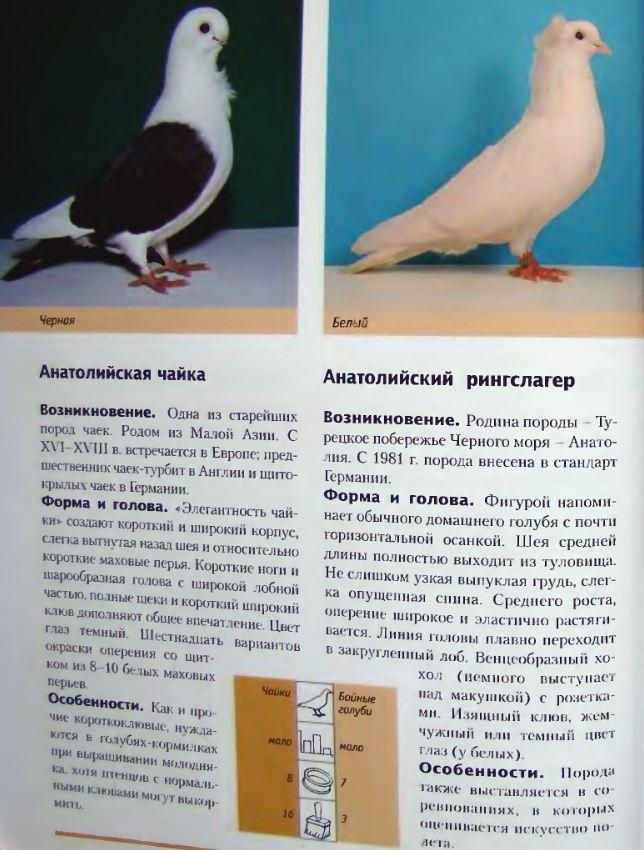 Породы голубей Image172
