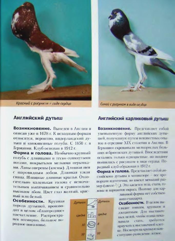 Породы голубей Image175