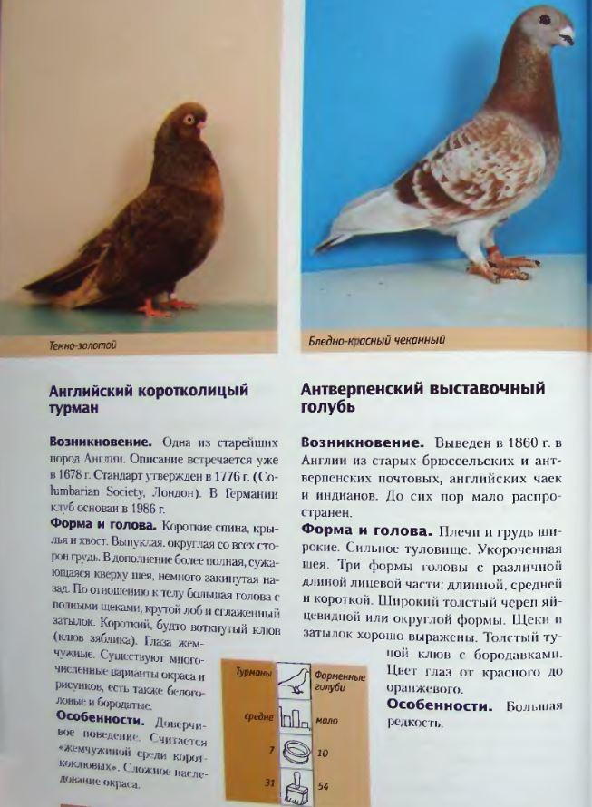 Породы голубей Image176