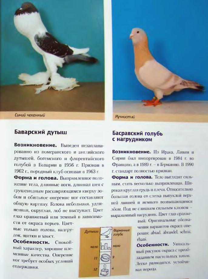 Породы голубей Image177