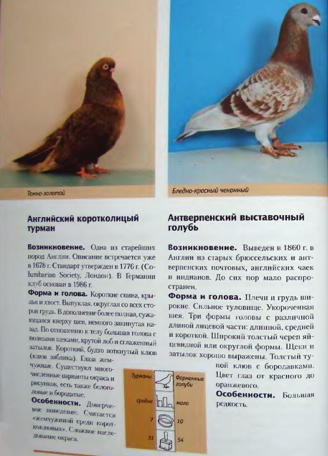 Породы голубей Image179