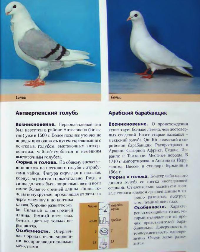 Породы голубей Image180