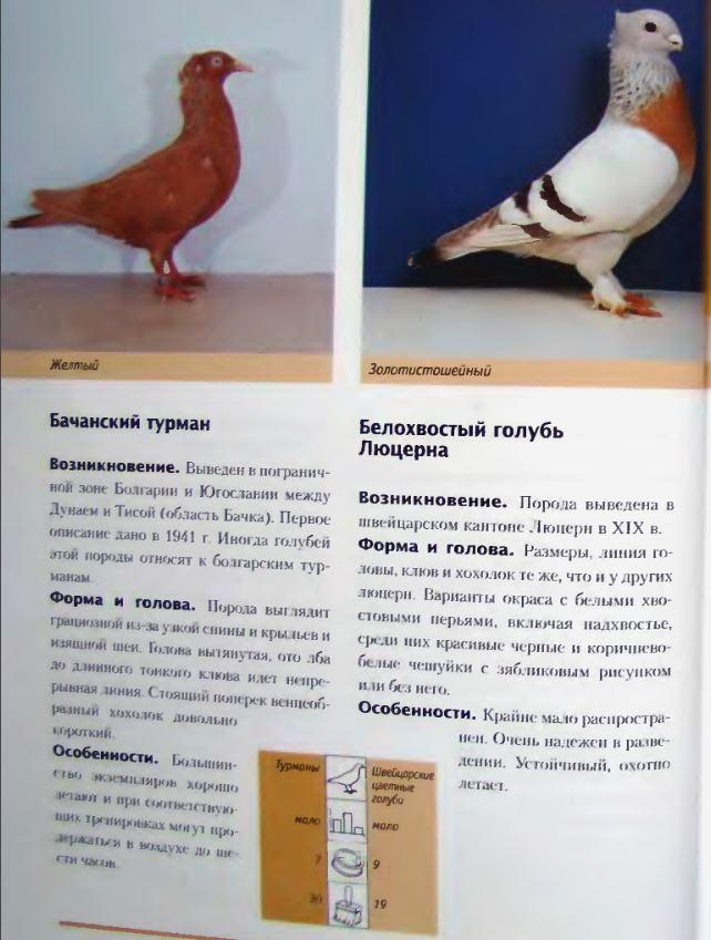 Породы голубей Image181