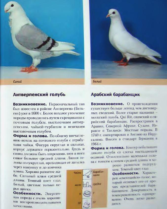 Породы голубей Image184