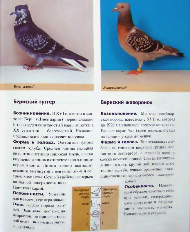 Породы голубей Image186