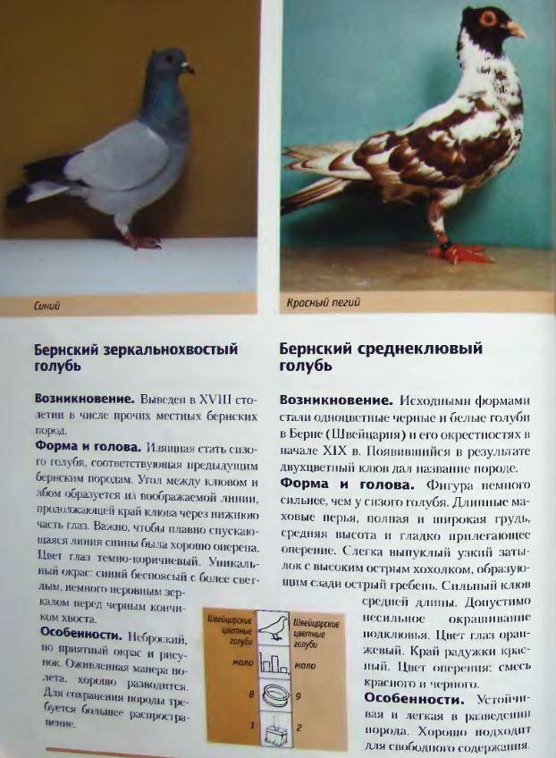 Породы голубей Image187