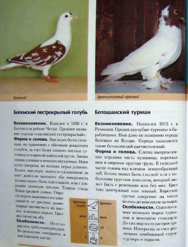 Породы голубей Image189