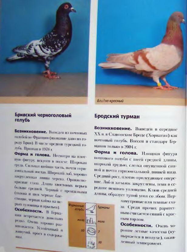 Породы голубей Image190