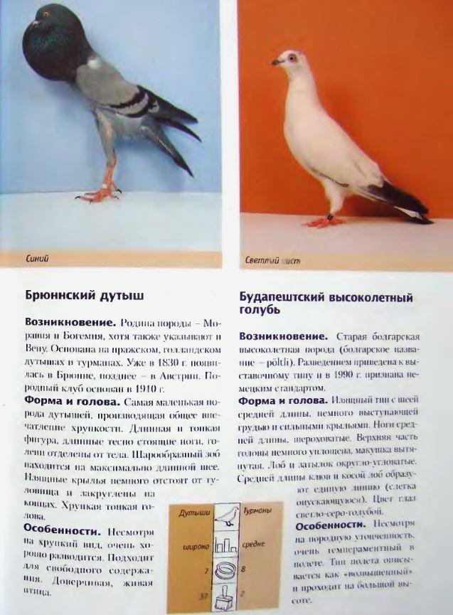 Породы голубей Image191
