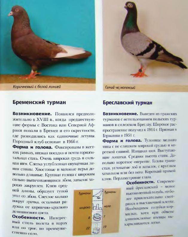 Породы голубей Image192