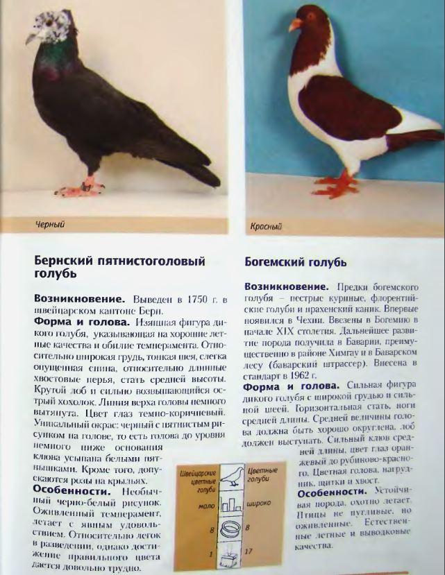 Породы голубей Image193