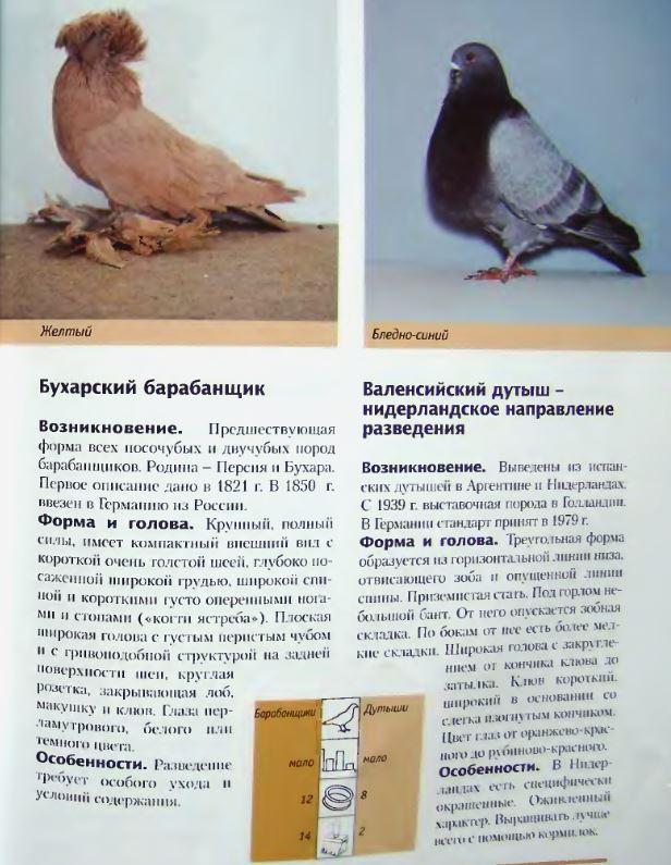 Породы голубей Image194