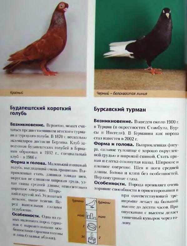 Породы голубей Image195