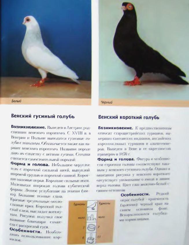 Породы голубей Image196