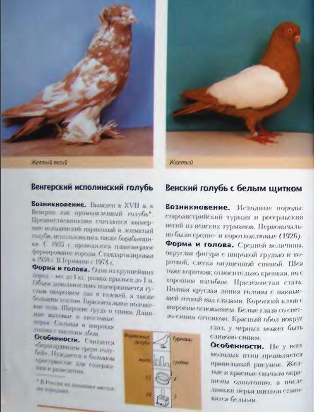 Породы голубей Image197