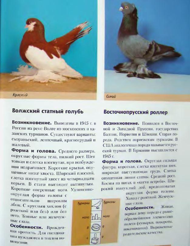 Породы голубей Image199